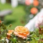 Rose Gardens At Amber Kiwi Holiday Park In Christchurch